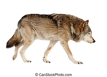 wolf. Isolated over white background