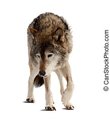 wolf Isolated over white background with shade