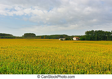 Plantation of Ripe Corn in Piedmont, Italy