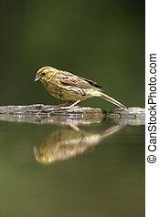 Yellowhammer, Emberiza citrinella, single female by water,...