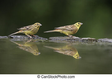 Yellowhammer, Emberiza citrinella, male and female by water,...
