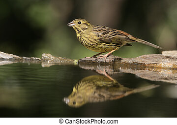 Yellowhammer, Emberiza citrinella, single female by water,...