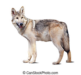 Standing gray wolf. Isolated over white background with...