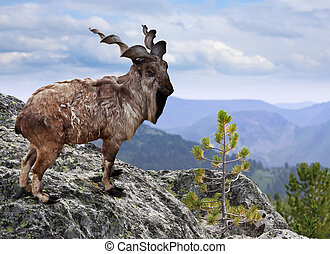 Markhor in wildness area - Markhor on rock in wildness area