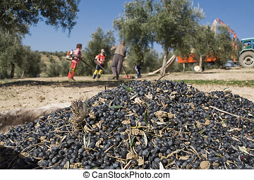 Olive collection, Jaen, Spain - Lot of olives on a canvas...