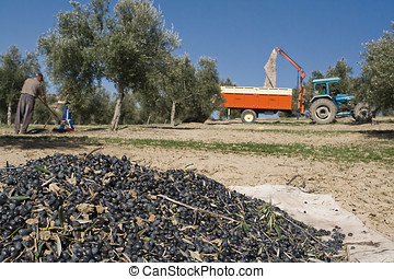 Olive collection, Jaen, Spain