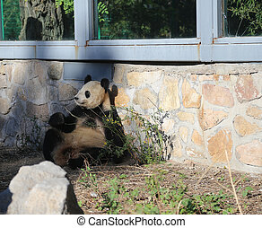 Giant Panda from Beijing Zoo, China