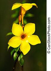 Allamanda - Yellow Tropical Flower - Allamanda, yellow...