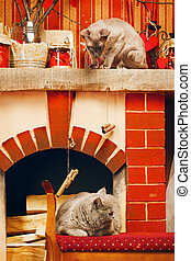 Two Cats - peterbald and blue british shorthair cat at home