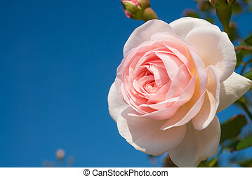 pink rose and the blue sky