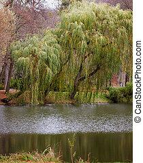 salice, lago, autunno, albero, pianto, cadere, parco