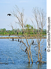 Little cormorant together as a group on tree spread the...