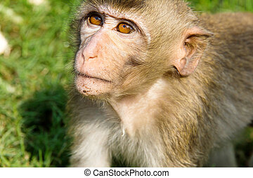 Long-tailed macaque - portrait of Long-tailed macaque