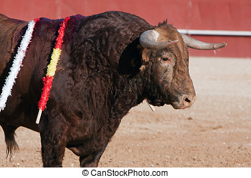 Bull of reddish brown hair, bullfight, Spain
