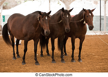 Functionality testing of horses of purebred Spanish, Spain -...