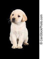 Labrador puppy standing and look sad in studio on black...