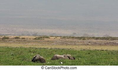 African elephants in marshland - African elephants Loxodonta...