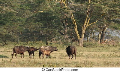 African buffalos Syncerus caffer among Acacia trees, Lake...