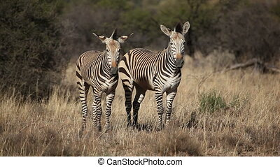 Hartmanns Mountain Zebras - Two Hartmanns Mountain Zebras...