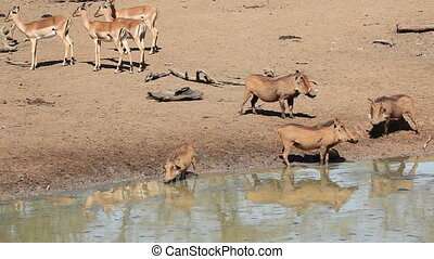 Warthogs and impala antelopes at a waterhole, Mkuze game...