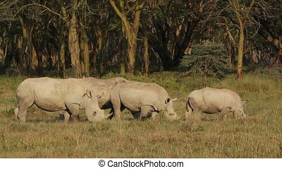 White rhinoceros feeding - White rhinoceros Ceratotherium...