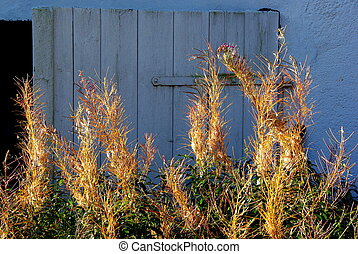 Fireweed and blue door - Overblown rosebay willowherb...