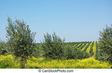 Olives tree at south of Portugal.