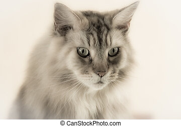 Soft Focus Portrait Of A Maine Coon Cat On A Plain...
