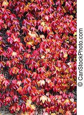 Red ivy Background Texture