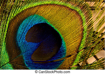 Peacock feather - colorful peacock feather; photographed in...