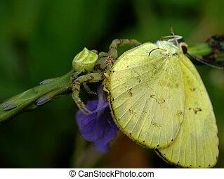Yellow Garden Spider with Prey