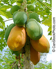 Ripe and raw papaya on the tree