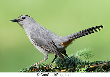 Gray Catbird (Dumetella carolinensis) on a perch with a...