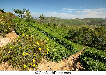 Tea plantation landscape - Wide angle shot of a vivid green...