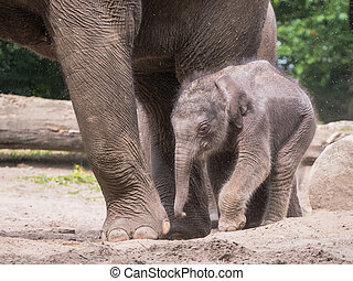 Baby elephant makes his first steps alongside his mother