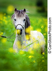 Portrait of Shetland pony on green background