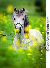 Portrait of Shetland pony on green background