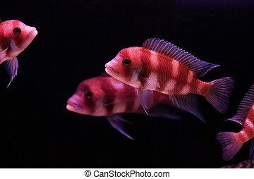 orange and blue aquarium fish