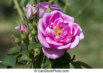 Pink roses for extraction of essential oils. (Rosa...