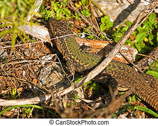 Mimetic lizard - The mimetic lizard in its natural...