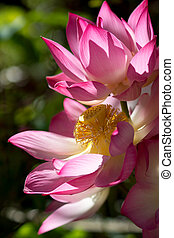 Blooming lotus flower in the morning