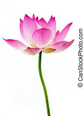 Blooming lotus flower on isolate white background.