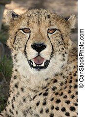 Cheetah Portrait - Portrait of a beautiful African cheetah...
