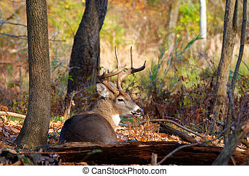 Whitetail Deer Buck - A Whitetail Deer Buck in a woods.