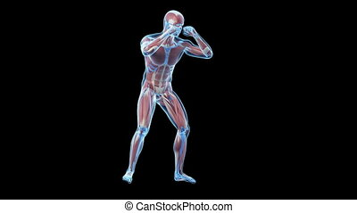 The muscles of a boxer - Animation showing the muscles of a...