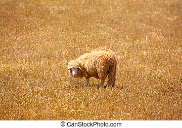 Menorca sheep grazing in golden dried meadow at Balearic...