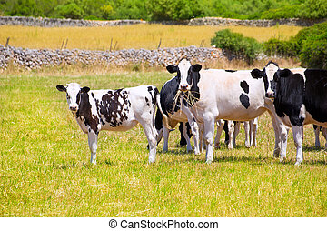 Menorca Friesian cow cattle grazing in green meadow