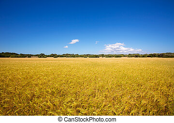 Menorca golden wheat fields in Ciutadella agriculture at...