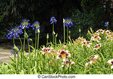 Garden - Homerocalis and Agapanthus