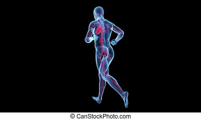 Visible vascular system - Animation showing a transparent...